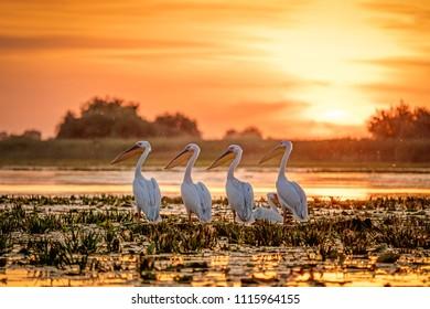 Danube Delta Romania Pelicans at sunset on Lake Fortuna