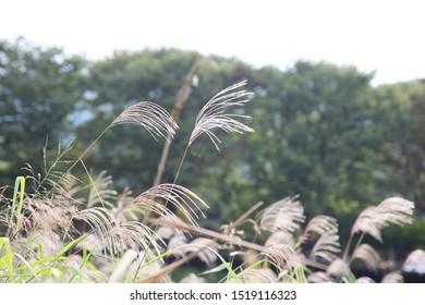 Danyang County Sapyeong Chungcheongbuk-do, Korea. Sept. 27- 2019: Close-Up Reed Flower Forest near Danyang River