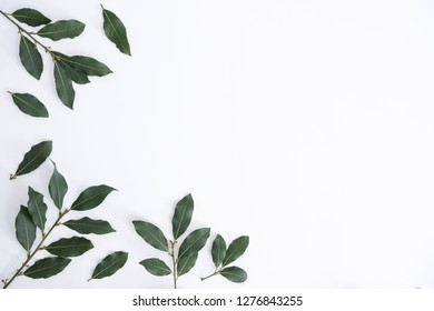 Daphne leaves background. Isolated on white background with daphne leaf or leaves. Empty copyspace for text.