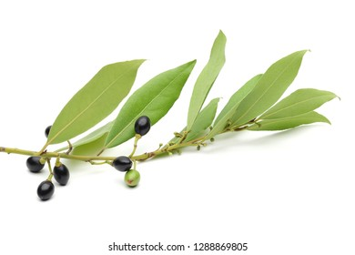 Daphne leaves and fruit isolated on white background