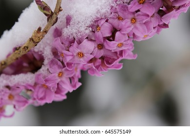 Daphne mezereum, commonly known as February daphne, in snow.