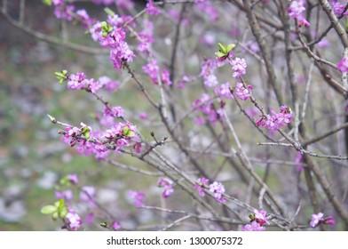 Daphne mezereum or february daphne or mezereon or spurge laurel blossoming plant
