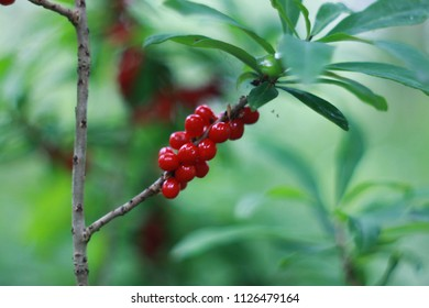 Daphne mezereum red poisonous berries in summer forest, mezereum, spurge laurel, spurge olive,