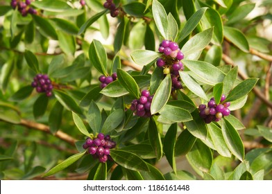 Daphne odora or winter daphne green plant with purple berries