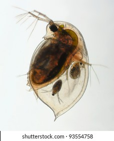 Daphnia pulex - water flea adult water flea with young animal, birghtfield