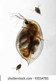 Daphnia pulex - water flea adult water flea with young animal, birghtfield