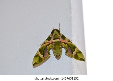 Daphnis nerii, Oleander hawk moth or army green fully grown caterpillar butterfly on white pillar wall