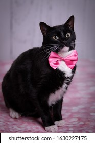 Dapper cat with pink bow tie posing in front of studio backdrop