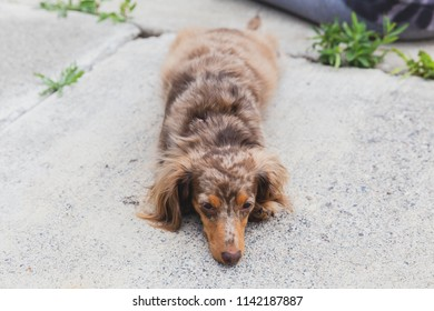 Dapple dachshund with long, brown hair laying on concrete outside.