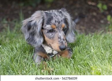 Dapple Dachshund Puppy Laying in Grass