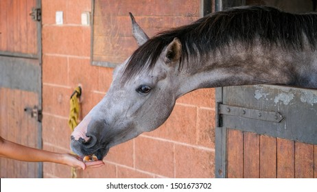 Dapple gray horse is eating apple from hands of the young woman in the stable. Farm Feeding.The concept of human-nature relations. Animal care. Holsteiner horse. Horse in the stable.