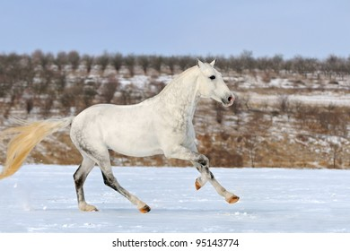 Dapple gray horse galloping in snow field