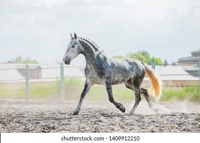 Dapple gray trotter horse running on sand on a stud farm