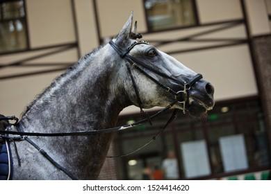 Dapple grey Andalusian horse portrait