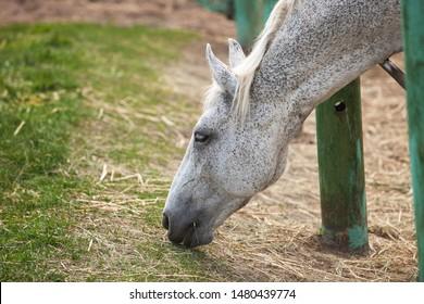 dapple grey horse eating hay