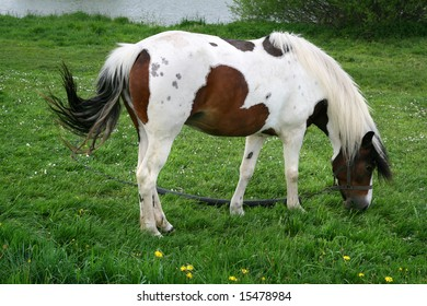 dapple horse mare poland