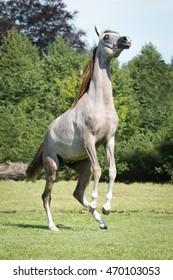 Dappled arabian horse rearing
