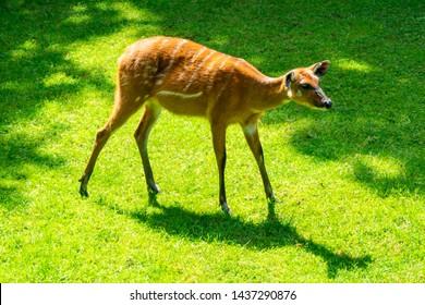 Dappled deer Bambi in a zoo