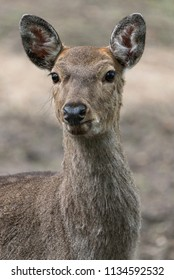 Dappled deer close-up portrait captured in the wild. Wildlife and animal photography