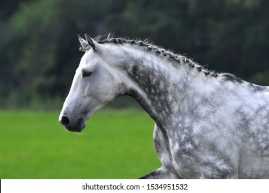 Dappled gray horse with plated braid running in the field. Animal portrait, side view.