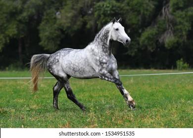 Dappled gray horse with plated braid running in the field.