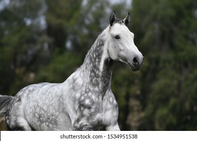 Dappled gray horse with plated braid running in the field. Animal portrait.