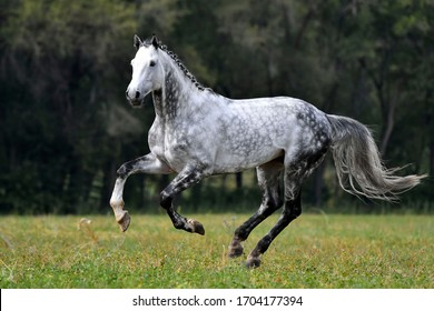 Dappled grey horse with plated mane running through the field in summer. Animal in motion.
