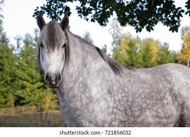 Dappled grey pony.