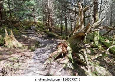 A dappled hiking path runs through a stand of gnarly old trees, logs and tree srumps in an alpine type forest high in Mount Mitchell State Park in North Carolina