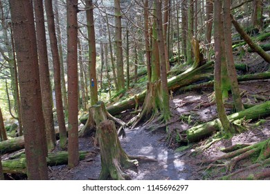 A dappled hiking path runs through a stand of old trees, logs and tree srumps in an alpine type forest high in Mount Mitchell State Park in North Carolina