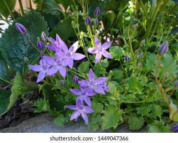 Dappled sunlight catching the flowers of campanula, trailing bellflower