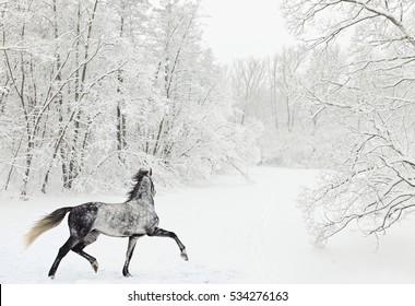 Dapple-grey arabian horse in motion on snow field