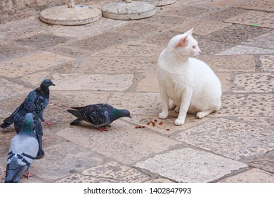Daring pigeons stealing food under the eyes of an inattentive white cat.