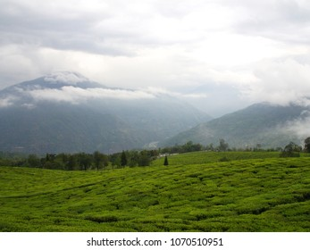Darjeeling  City, INDIA , 15th APRIL 2011 : The Most Famous TEA Plantation in Darjeeling City, India