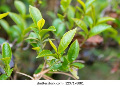 Darjeeling, India - Apr 19 2018- Tea leaf on Happy Valley Tea Estate in Darjeeling, West Bengal, India. Darjeeling teas are regarded as one of the best world wide.