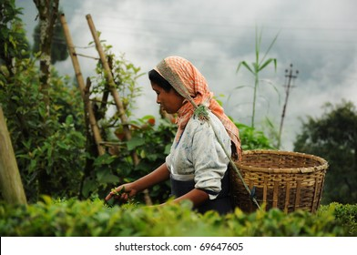 DARJEELING, INDIA - AUGUST 20: Woman picks tea leafs on the famous Darjeeling tea garden during the monsoon season on August 20, 2010. The majority of the local population are immigrant Nepalis. INDIA