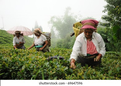 DARJEELING, INDIA - AUGUST 20: Women pick tea leafs on the famous Darjeeling tea garden during the monsoon season on August 20, 2010. The majority of the local population are immigrant Nepalis. INDIA