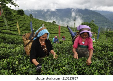 DARJEELING, INDIA,  - July. 3. 2014: Women pick up tea leafs by hand at tea garden in Darjeeling, one of the best quality tea in the world, India