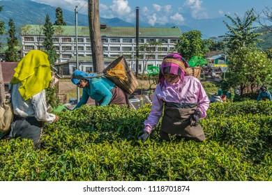 Darjeeling, West Bengal, India, 11-02-2015, Women plucking tea in front of a tea factory