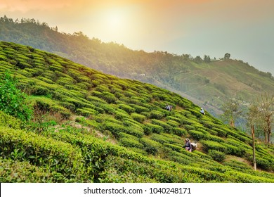 Darjeeling, West Bengal, India - March 28, 2013 : Tea plantations in Darjeeling. Stunning views of hills on sunrise.