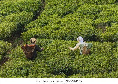 Darjeeling's first flush been plucked by the tea garden workers. Best aromatic and flavour filled tea.