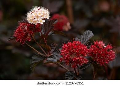 dark background - red-white flowers