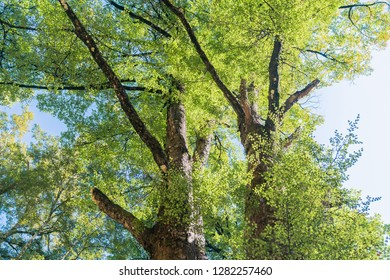Dark bark on beech tree trunks contrasts with lime green leaves against blue sky in natural forest scenes on Maruia Saddle Road out of Murchison, South Island New Zealand.