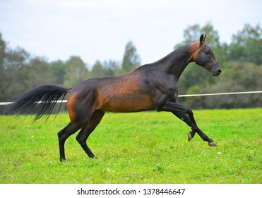 Dark bay Akhal Teke stallion leaping forward in canter in the summer field. Horizontal, side view, in motion.