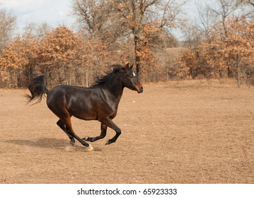 Dark bay Arabian horse galloping across fall pasture with his tail flagging