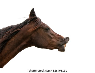 Dark bay horse exhibiting flehmen response with his upper lip curled up, on white background