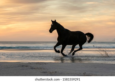 Dark Bay horse galloping in the water down the beach