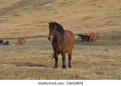 Dark bay Icelandic horse farm in Iceland.