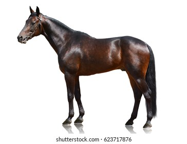 The dark bay powerful sport horse standing isolated on white background. side view