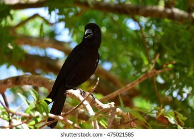 Dark black crow